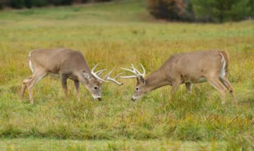 Behavior of the Whitetail Deer