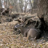How to Find Trophy Bucks Bedding Areas