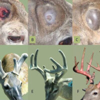 Antler Development
